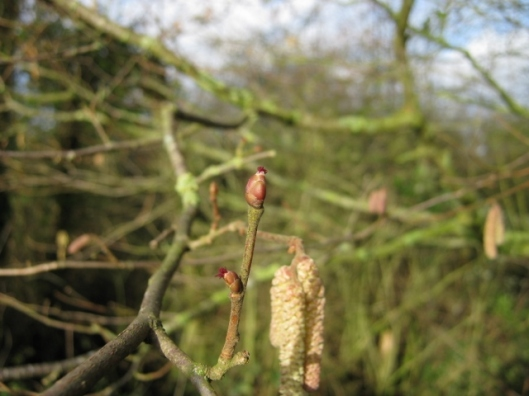 008Catkins with female flowers (640x480)