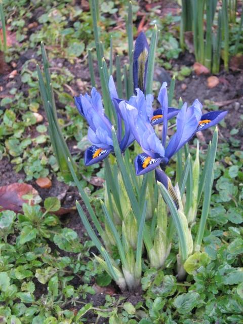 009Miniature iris (3) (480x640)