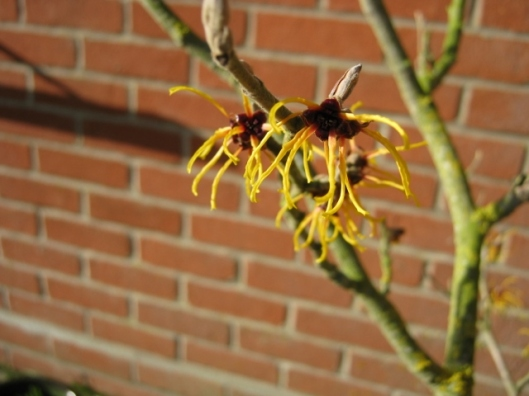 012Witch-hazel flowers (640x480)