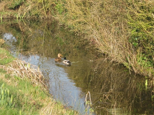 001Pair of mallards in ditch (640x480)