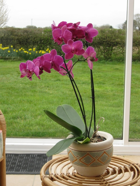 001Phalaenopsis orchid (480x640)