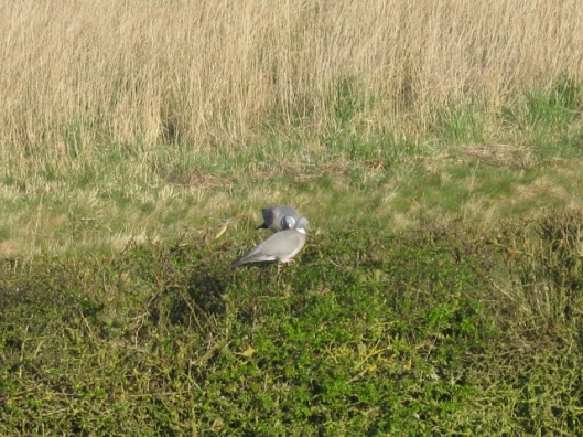 001Woodpigeons on hedge (640x480)