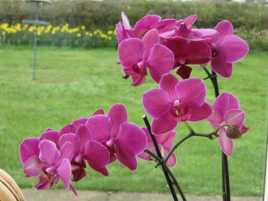 002Phalaenopsis orchid (640x480)