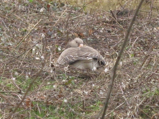 002Sleeping goose on nest (640x480)