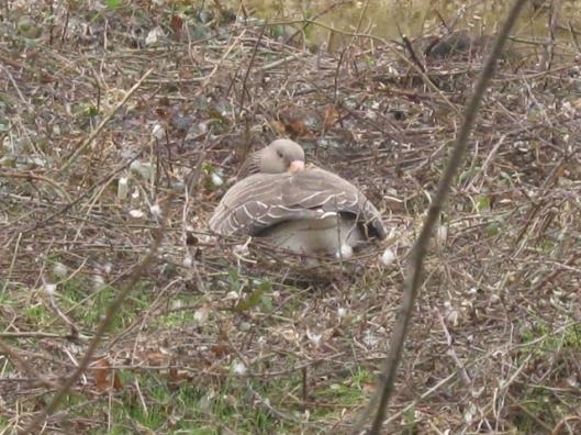 002Sleeping goose on nest (640x480)