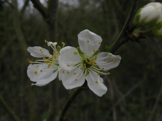 003Damson or bullace flowers (640x480)