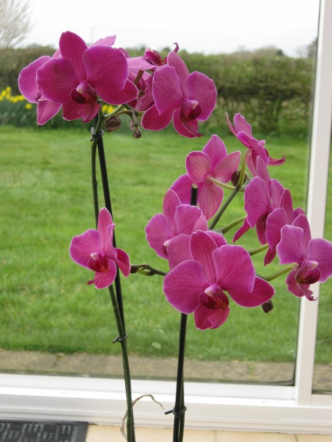 003Phalaenopsis orchid (480x640)
