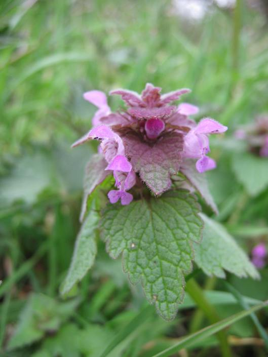 003Red dead nettle