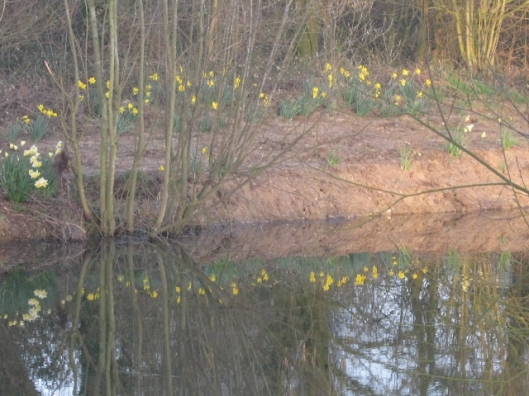 003Reflection of daffodils on pond (640x480)