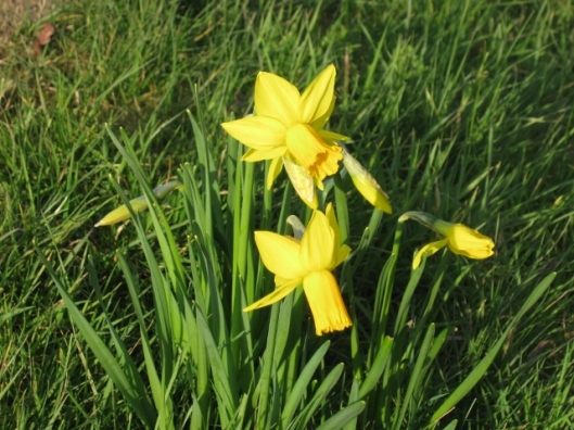 004Miniature daffodils in grass (640x480)