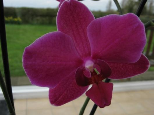 004Phalaenopsis orchid (640x480)
