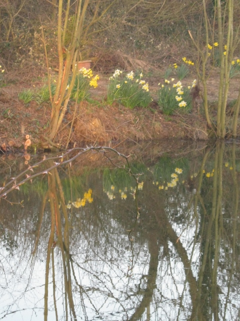 005Reflection of daffodils on pond (480x640)