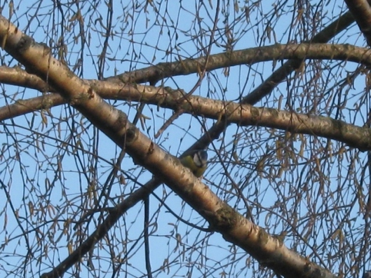 006Bluetit in birch tree (640x480)
