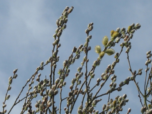 006Goat willow or pussy willow (640x480)