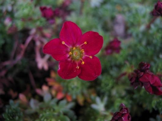 008Saxifrage flower (640x480)
