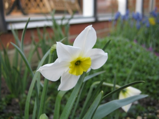 008Scented narcissus (640x480)