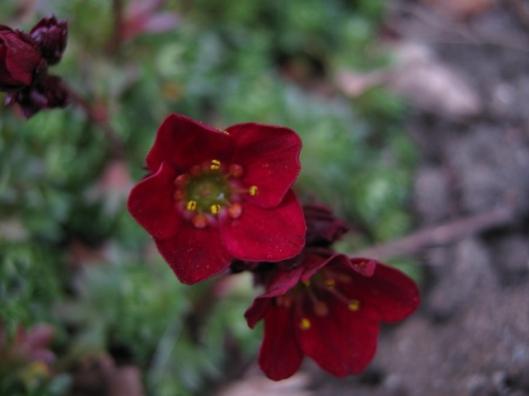 009Saxifrage flowers (640x480)