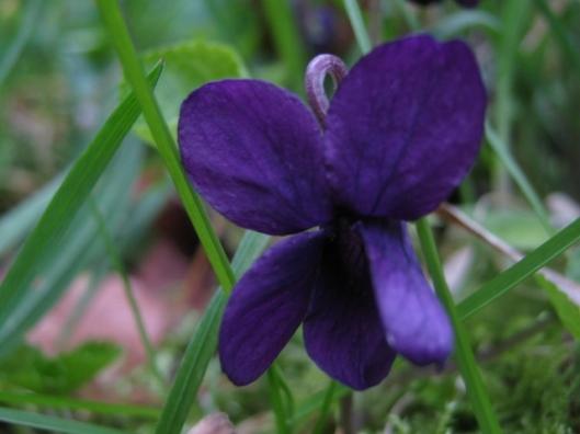 011Sweet violet (640x480)