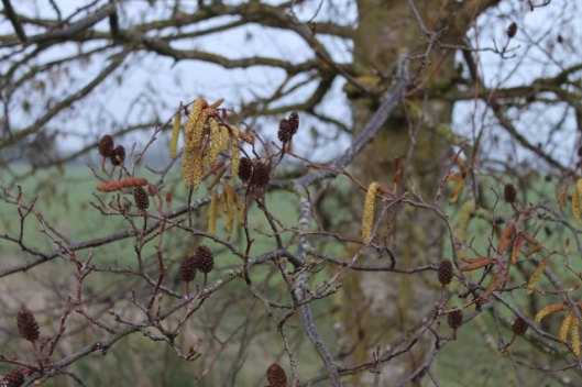 012Alder catkins and fruits (640x427)