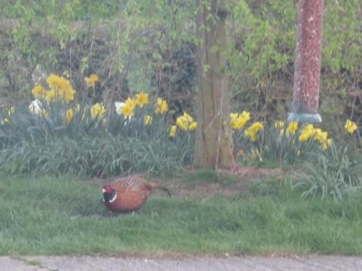 016Male pheasant (640x480)