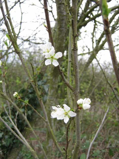 037Damson or bullace flowers (480x640)