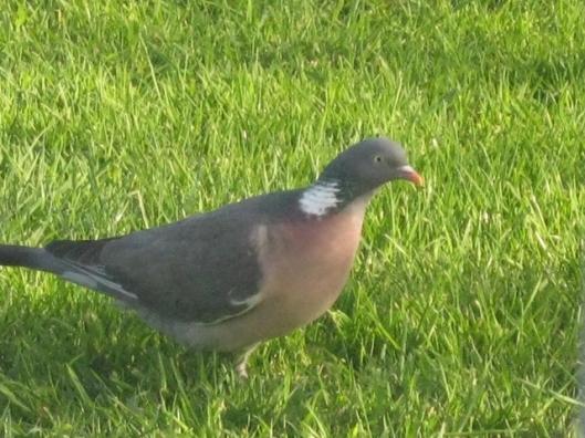 003Wood pigeon (640x480)