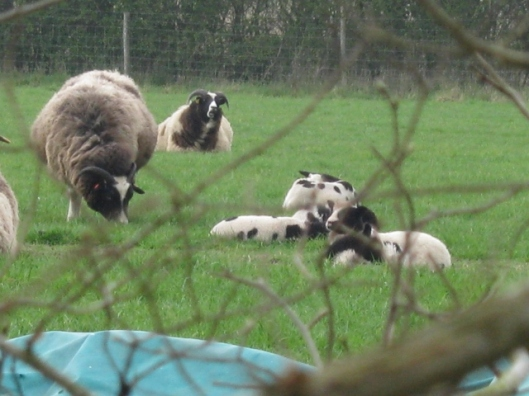004Jacob ewes & lambs (640x480)