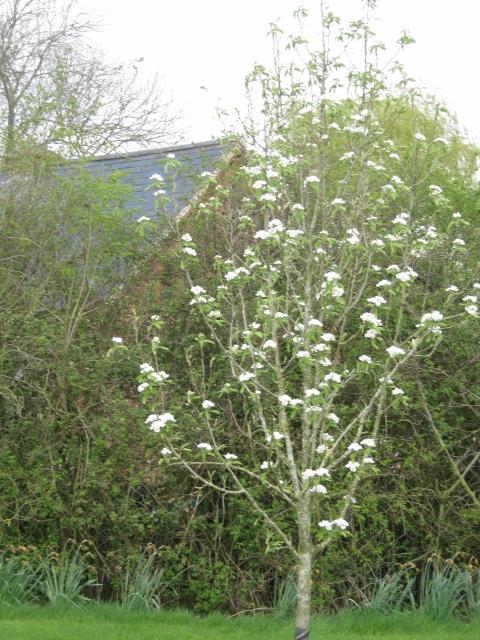 004Pear tree (480x640)