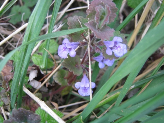 006Ground ivy (640x480)