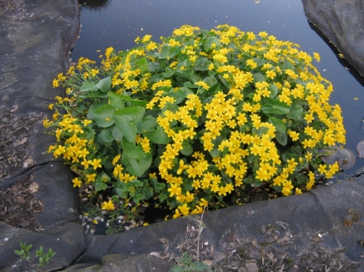 006Marsh marigold in small pond (640x480)