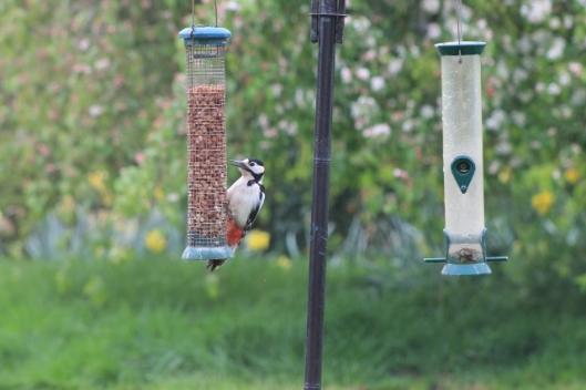 006Woodpecker on peanuts (640x427)