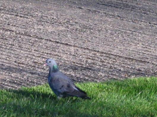 007Stock dove (640x480)