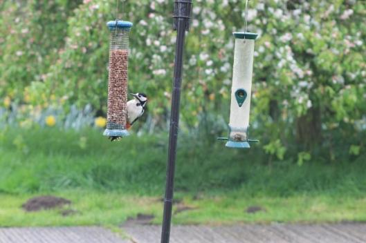 007Woodpecker on peanuts (640x427)