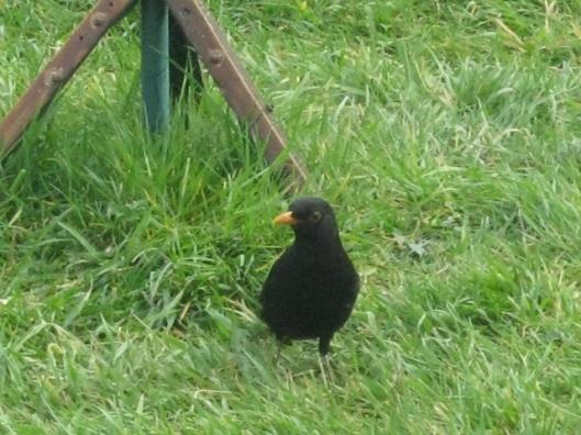 008Blackbird (640x480)