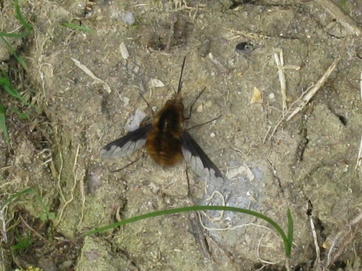 009Bee-fly (640x480) (2)