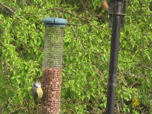 009Bluetit on feeder (640x480)