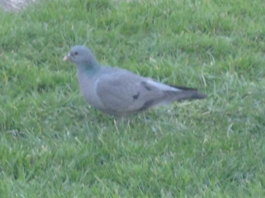 009Stock dove (640x480)