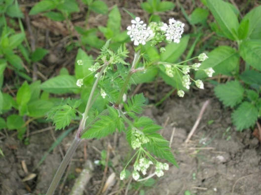 011Cow Parsley (640x480)