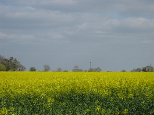 017Oil-seed rape field to the left (640x480)