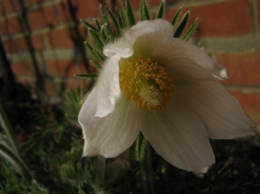 021Pasque flower (640x480)