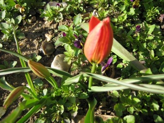 026Miniature scented tulip (640x480)