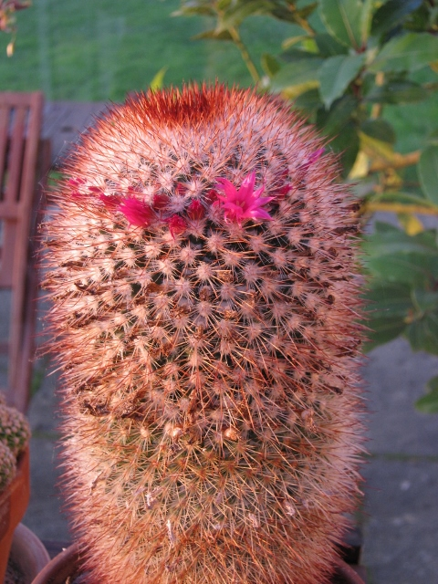 039Cactus in flower (480x640)