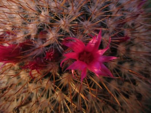 040Cactus flower (640x480)