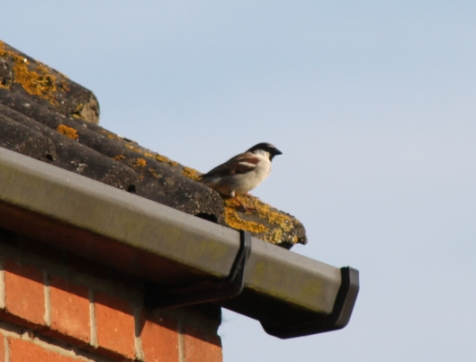004Male House Sparrow