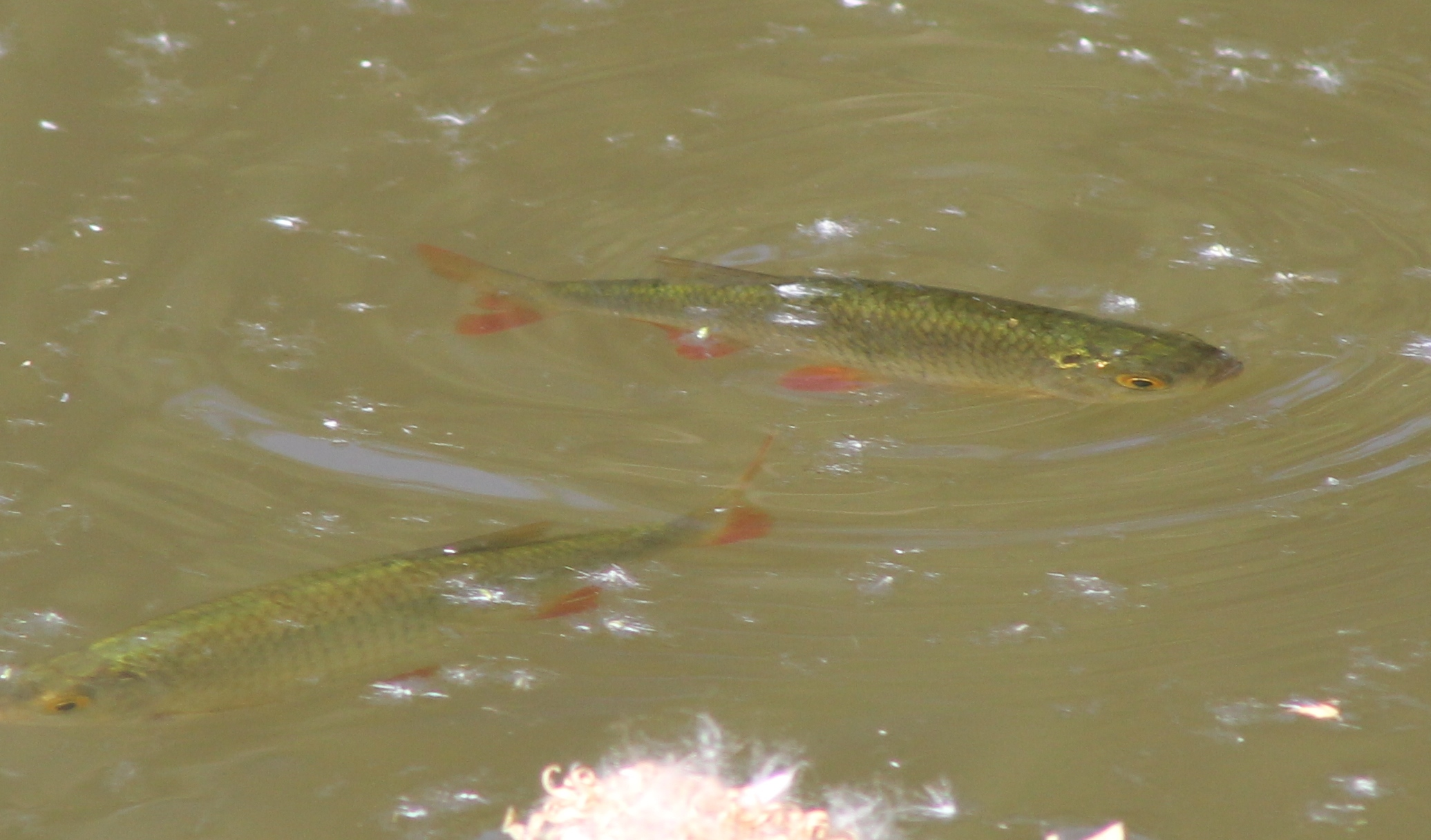 how to catch perch in a pond
