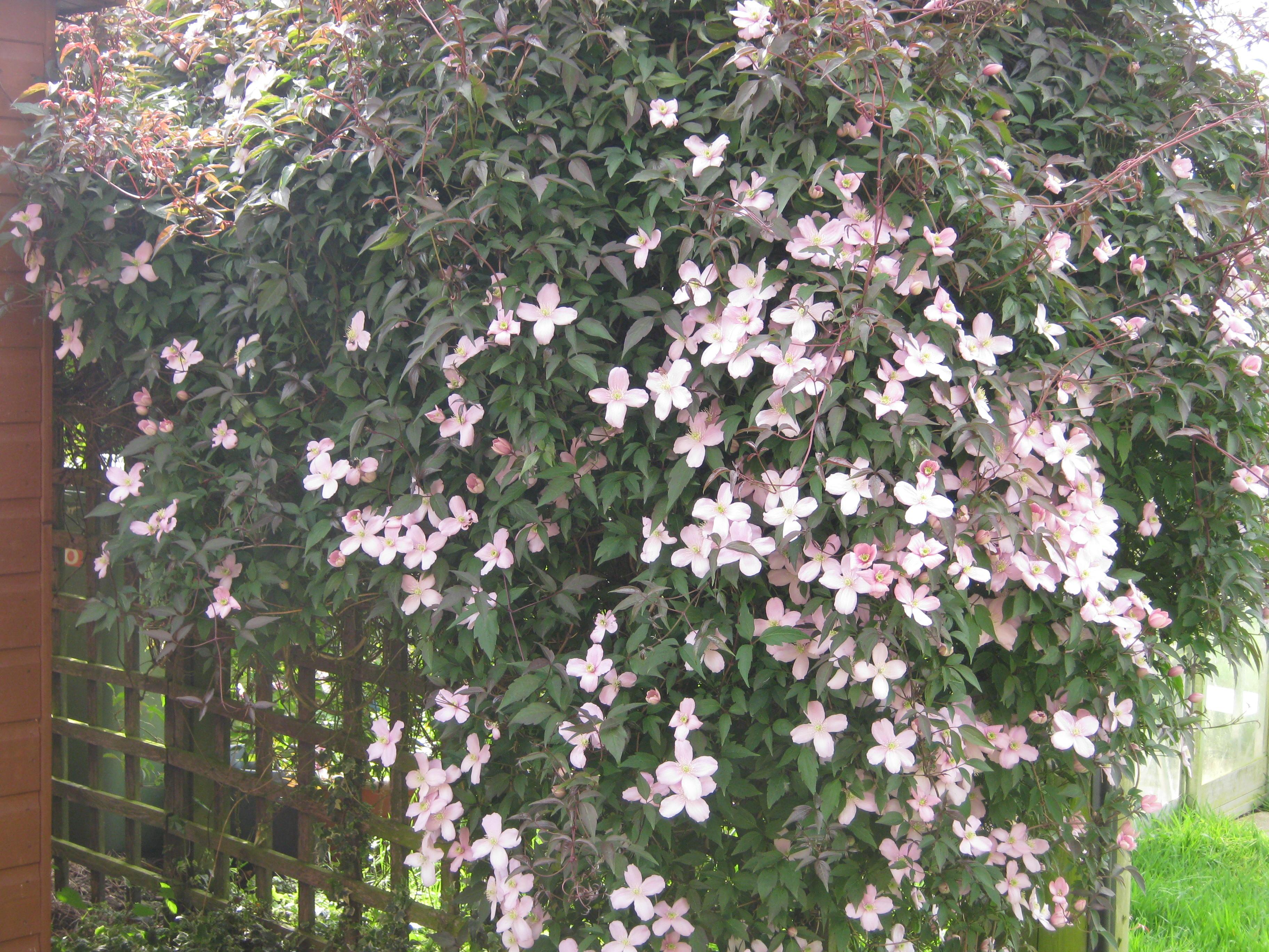 Shrub rose Canary Bird   A Suffolk Lane