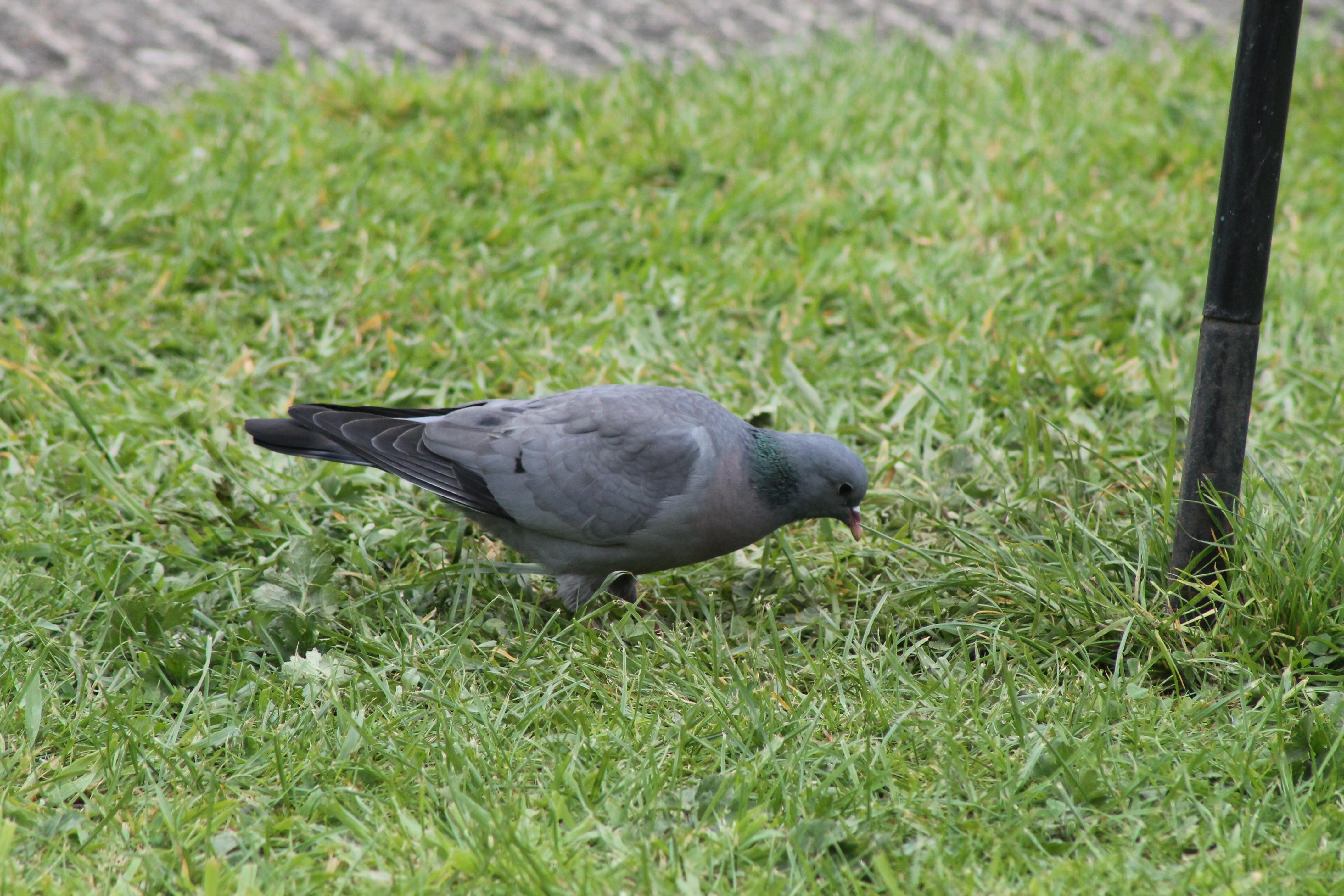 stock dove   A Suffolk Lane