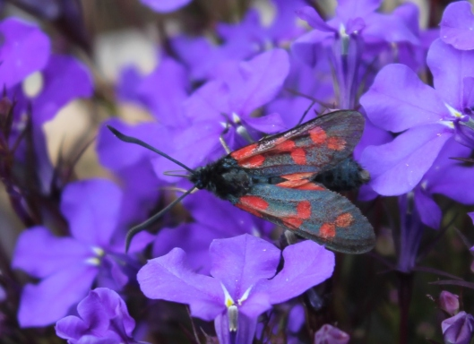 002Six-spot Burnet on lobelia