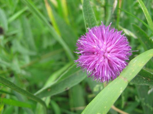004Common Knapweed