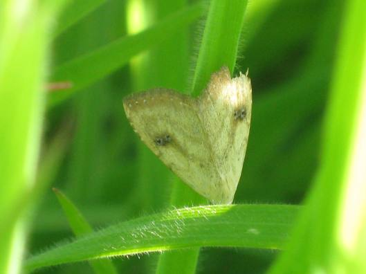 004Micro Moth